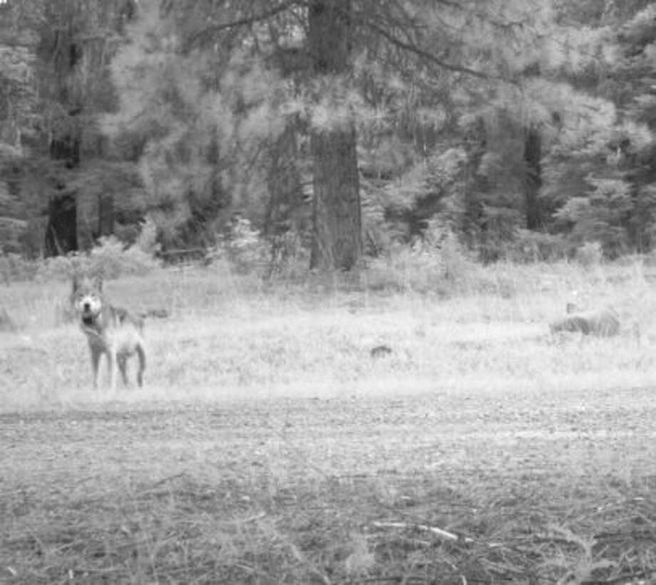 One of the latest photos of OR-7 in Oregon Photo: U.S. Fish And Wildlife Service, Courtesy