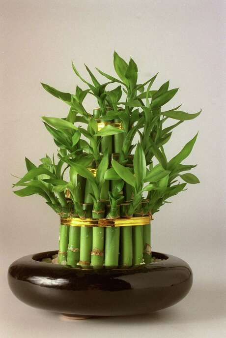 Lucky bamboo has become a popular house and patio plant. Photo: John Everett, Staff / Houston Chronicle