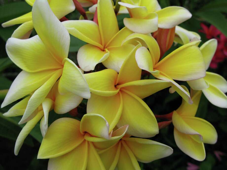 Build your plumeria collection at a weekend plant sale.