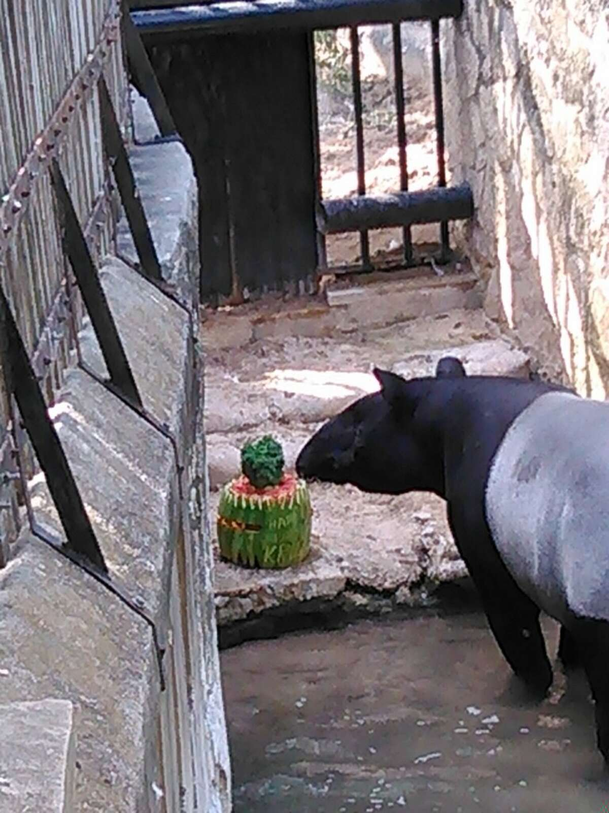Kruz, a Malaysian Tapir at the San Antonio Zoo, celebrates his birthday with a watermelon cake.