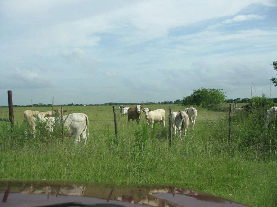 Cattle graze on a rice farm in the Katy area that was recently sold by the Beckendorff family. John S. Beeson, John Stephen Ford, Sr. and Steven A. Webster have purchased 620.6 acres of land bordered by FM 529, Katy Hockley Road, Beckendorff Road and Pitts Road. / ONLINE_YES