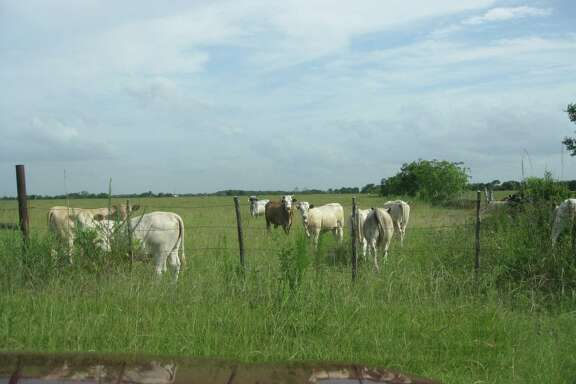 Cattle graze on a rice farm in the Katy area that was recently sold by the Beckendorff family. John S. Beeson, John Stephen Ford, Sr. and Steven A. Webster have purchased 620.6 acres of land bordered by FM 529, Katy Hockley Road, Beckendorff Road and Pitts Road.