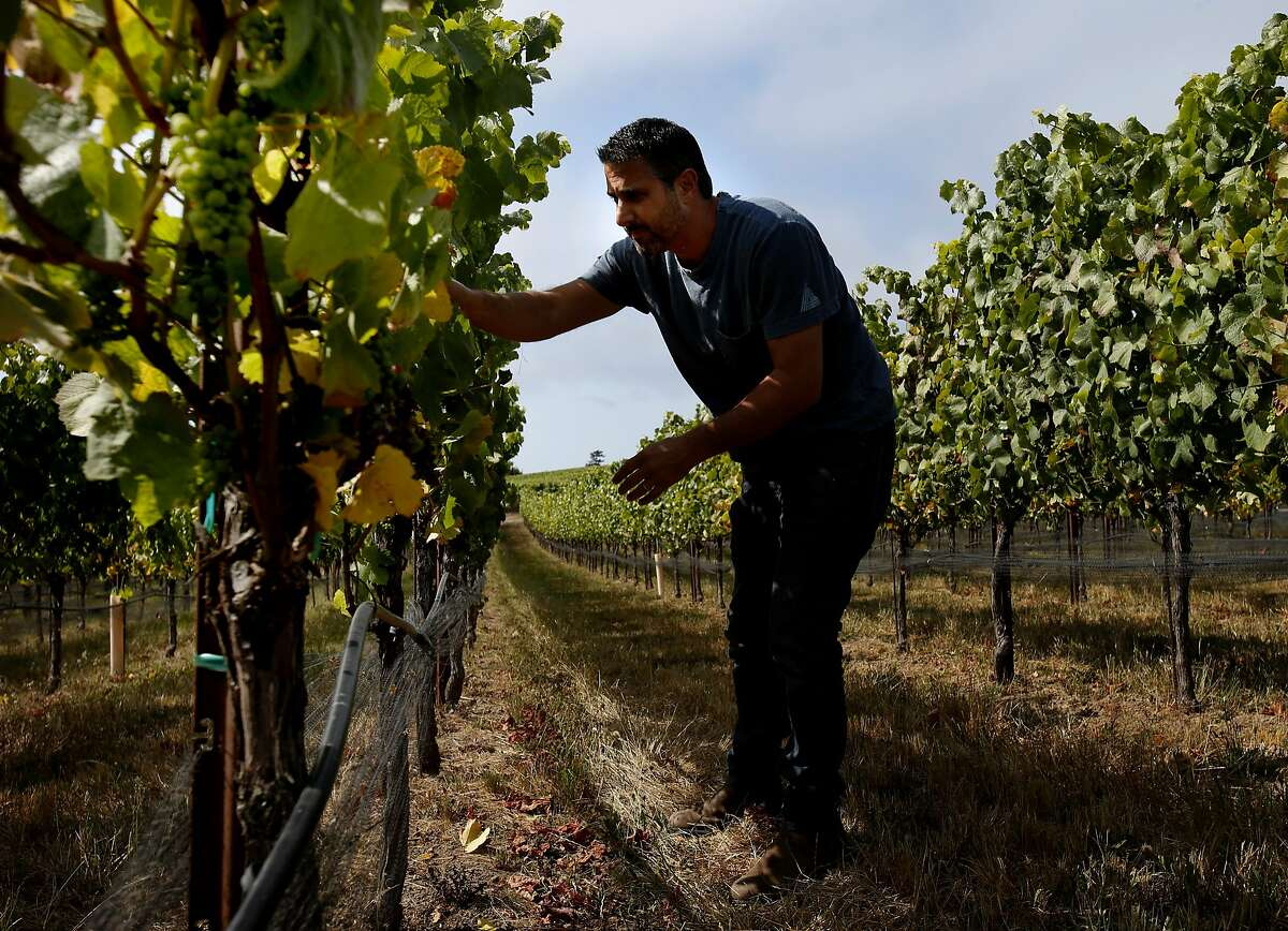 Winemaker Jamie Kutch is fond of the coastal Pinot Noir grapes in Sonoma County he uses for his wines. He visits the Falstaff vineyard near Sebastopol, Calif. to check on the grape growth.