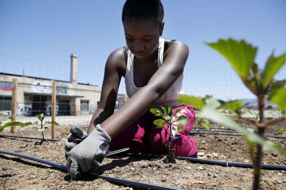 California: High school junior Adreona Gillard tacks down drip-irrigation hoses on a bed of newly planted flowers while working at Wow Farms' flower farm in Oakland, CA, Saturday, July 5, 2014. Photo: Michael Short, The Chronicle
