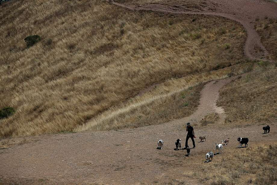 A dog walker walks a group of dogs on a dried section of Bernal Heights Park on July 16, 2014 in San Francisco. As the severe drought in California contiues to worsen, the State's landscape and many resident's lawns are turning brown due to lack of rain and the discontinuation of watering.  (Photo by Justin Sullivan/Getty Images) Photo: Justin Sullivan, Getty Images