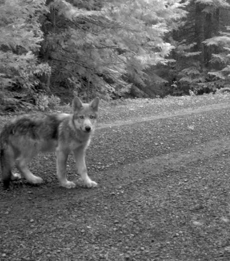 A trail camera in Oregon captured this image of a pup of OR-7, the wolf with a worldwide following. Photo: U.S. Fish And Wildlife Service / U.S. Fish and Wildlife Service