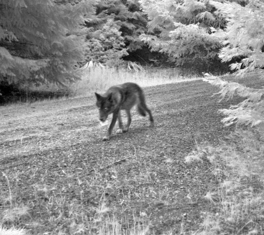 This July 12, 2014 image released by the U.S. Fish and Wildlife Service, shows what is believed to be the mate of OR-7 seen in a screen grab from a remote trail camera in Rogue River-Siskiyou National Forest, Ore. New photos show that Oregon's famous wandering wolf, OR-7, has at least three pups that he and a mate are raising in the Cascade Range of southern Oregon. U.S. Fish and Wildlife Service biologist John Stephenson said Friday, July 25, 2014 that the photos show two gray pups. Photo: AP  / U.S. Fish and Wildlife Service