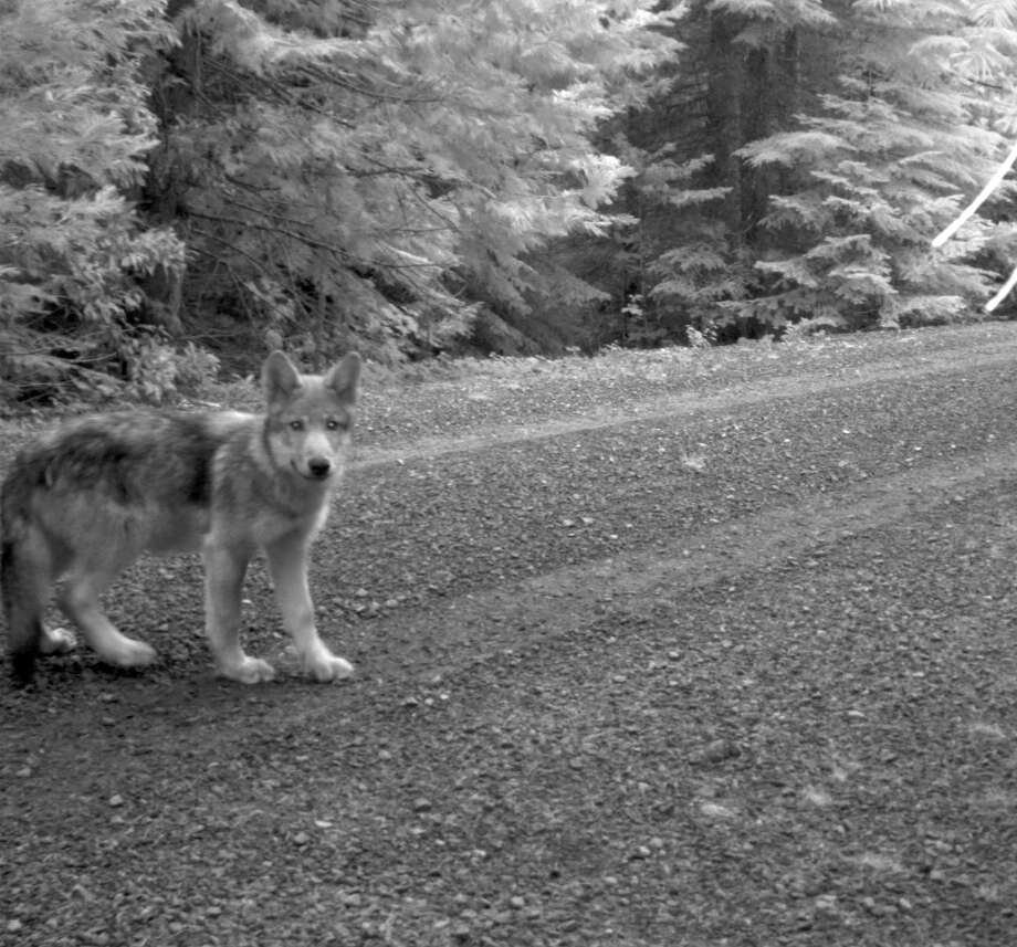 This July 12, 2014 image released by the U.S. Fish and Wildlife Service, shows what is believed to be a pup of OR-7 seen in a screen grab from a remote trail camera in Rogue River-Siskiyou National Forest, Ore. New photos show that Oregon's famous wandering wolf, OR-7, has at least three pups that he and a mate are raising in the Cascade Range of southern Oregon. U.S. Fish and Wildlife Service biologist John Stephenson said Friday, July 25, 2014 that the photos show two gray pups. Photo: AP  / U.S. Fish and Wildlife Service