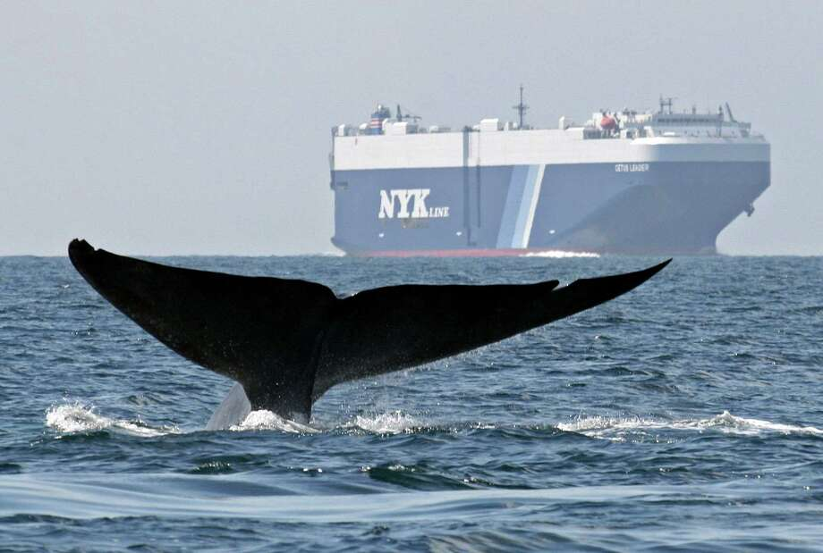 A satellite study of blue whale movements shows the endangered creatures cluster for long periods in busy shipping lanes off the California coast, putting them at risk for collisions with large vessels. In this Aug. 14, 2008 file photo provided by John Calambokidis, a blue  whale is shown near a cargo ship in the Santa Barbara Channel off the  California coast. Photo: John Calambokidis, AP  / Cascadia Research
