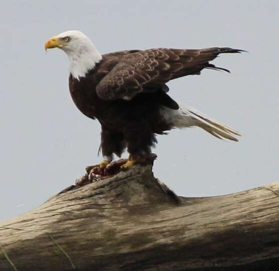 Doug Jacomine of Waterford was washing his windows when he turned and saw this eagle pause to eat a