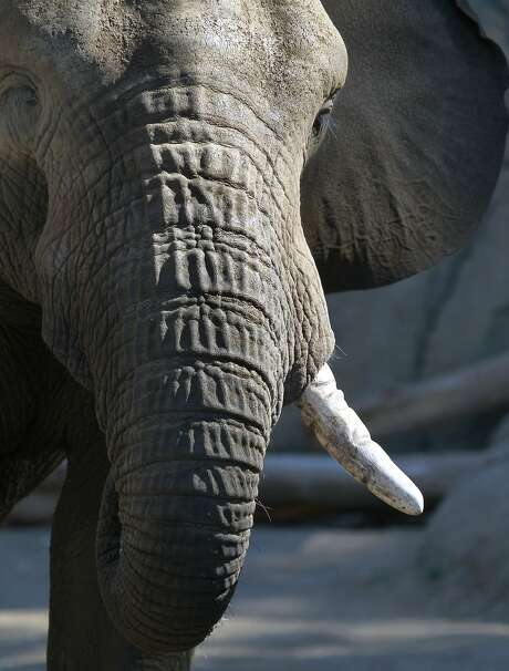 Osh is one of the Oakland Zoo's African elephants, whose ivory tusks can be sold for $1,500 a pound on the global black market. Photo: Paul Chinn, The Chronicle