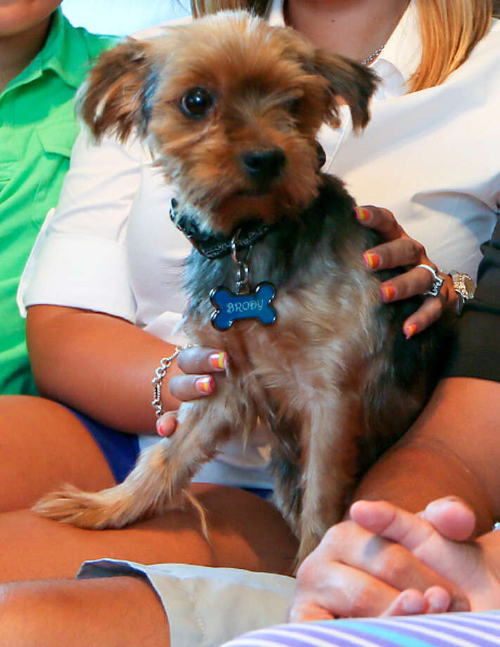 Brody, a 6-year-old Yorkshire Terrier, was returned to the Delgado family of San Antonio after he was picked up by Animal Care Services on July 16. He was missing for sixteen months. Photo: MARVIN PFEIFFER, Marvin Pfeiffer/San Antonio Express-News / EN Communities 2014