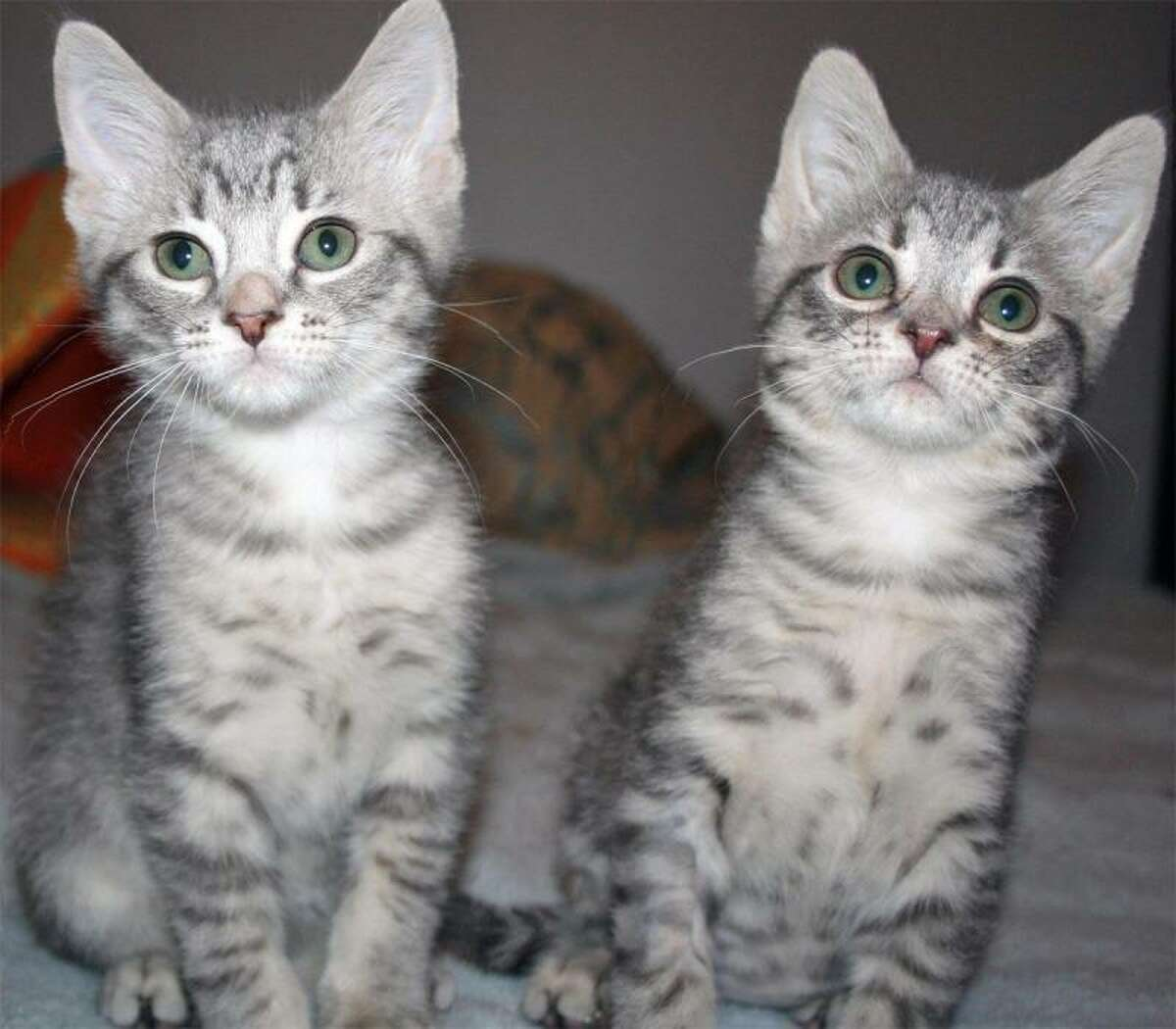 Asher and Ashleigh are just a few of the playful kittens ready for adoption at Whiskers. (Mary Lou Baker)