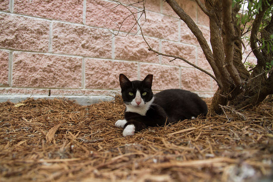 Bubba, one of the barn cats at Animal Care Services (ACS), Thursday, July 24, 2014. ACS uses these outdoor cats for pest control on their grounds and these cats are also available for adoption. Photo: Alma E. Hernandez, For The San Antonio Express-News