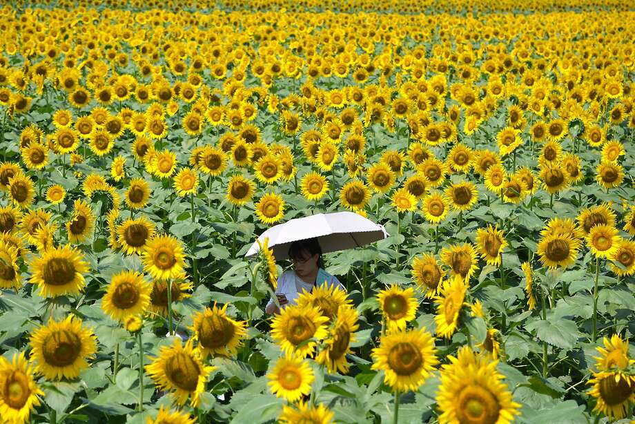 Sunflower sea: A woman makes her way through a maze of sunflowers during a festival honoring the flower in Nogi, Japan. Some 200,000 sunflowers greeted visitors to the small town. Photo: Kazuhiro Nogi, AFP/Getty Images