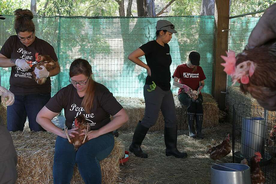Handlers at the Animal Place in Vacaville tend to the 500 rescued egg farm hens, which are usually disposed of once their egg production drops. Photo: James Tensuan, The Chronicle