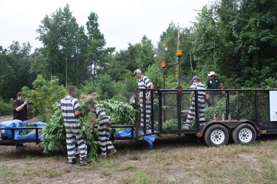 Police brought in inmates from the local Polk County jail, Monday, to clear fields of marijuana plants discovered by chance by a deer hunter near Goodrich. Photo: Montgomery County Police Reporter