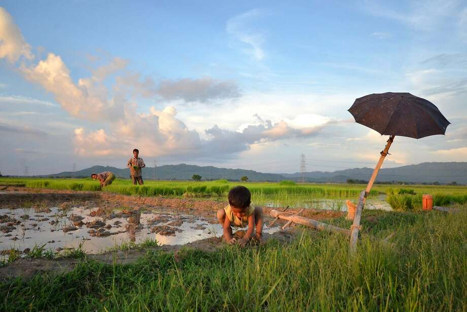 Blessings of rain:An Indian child plays as his parents work in a paddy field at Nagaon, east of 