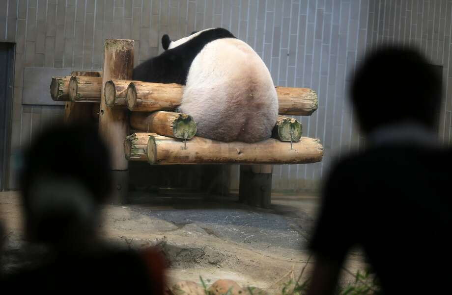 Did the Ueno Zoo's panda just moon the visitors?Actually, the poor bear is simply trying to get as close as possible to a cool-air vent during a 90-plus-degree heat wave in Tokyo. Photo: Eugene Hoshiko, Associated Press
