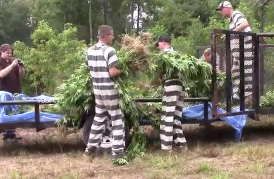 More than 70 officials with inmates from the local county jail worked Monday to try and clear thousands of marijuana plants from 13 fields found near Goodrich.  A deer hunter stumbled across the growers camp and irrigation systems Saturday. Photo: You/TubePolk County Today