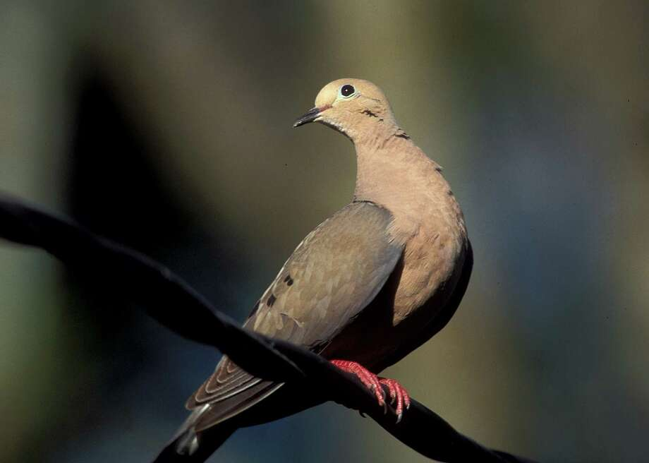 The Texas Parks and Wildlife department is predicting a good year for dove hunting in the Lone Star State this year. A mourning dove is shown in the photo above. Photo: Courtesy/Texas Parks And Wildlife