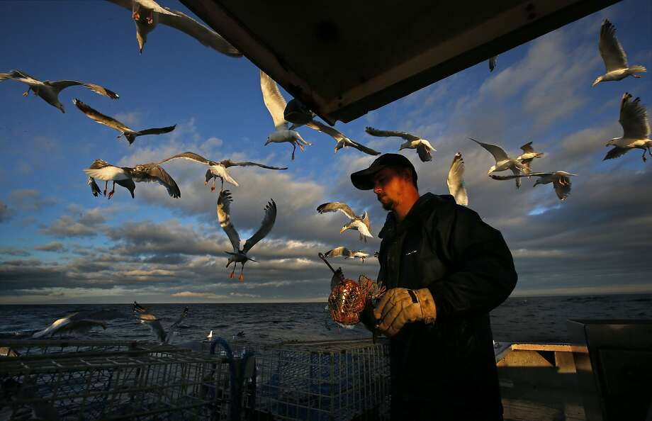 Gulls are attracted to the bait bag held by sternman Brandon Demmons while working aboard a a lobster fishing boat, Tuesday, July 29, 2014, off of Monhegan Island, Maine. The sternman's main task is to replace bags of dead herring after the captain removes the lobsters from the hauled trap. (AP Photo/Robert F. Bukaty) Photo: Robert F. Bukaty, Associated Press