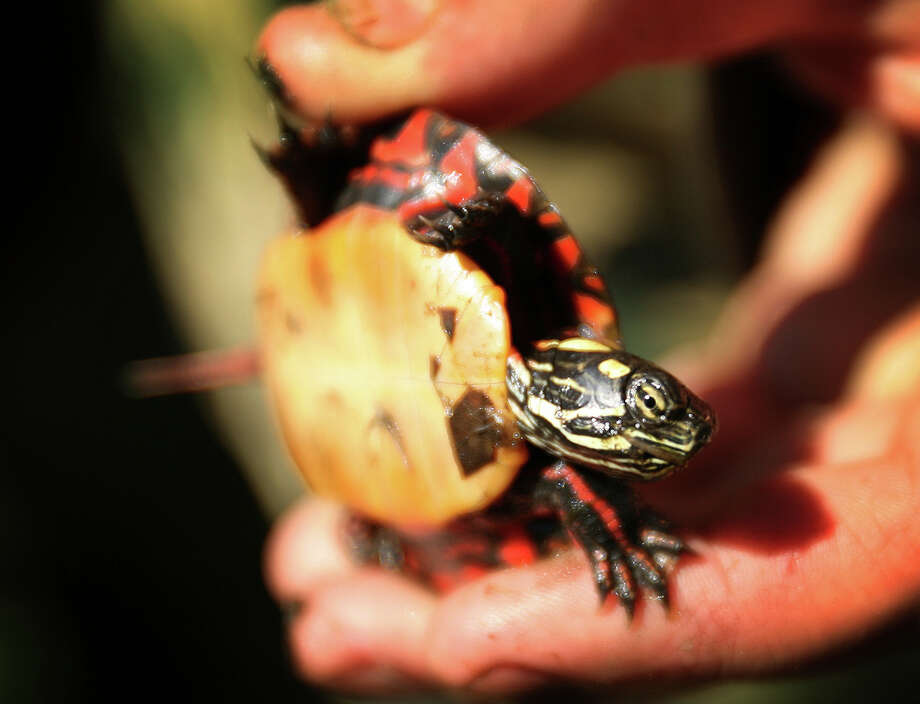 Seaside Center Naturalist Tim Walsh will talk about turtles during a family program on Saturday, Aug. 16, from 3 to 4:30 p.m. at the Bruce Museum Seaside Center at Greenwich Point Park. The session features a variety of live turtles plus turtle crafts and games, including putting together a turtle shell ìpuzzle.î  Free; all ages are welcome. For more information, call 203-413-6756 weekdays or email cynthiae@brucemuseum.org. Photo: Brian A. Pounds / Connecticut Post