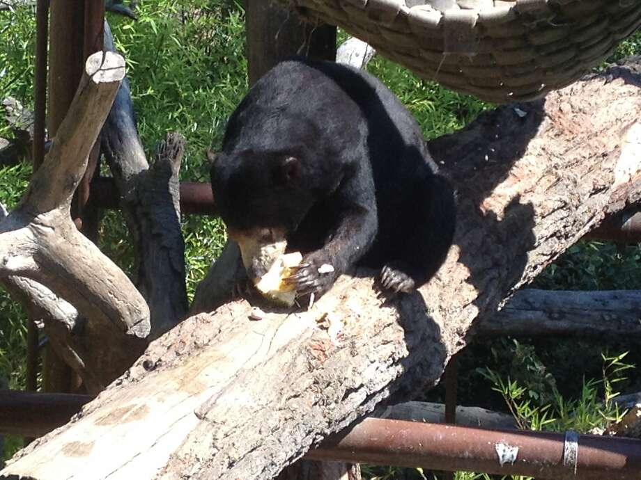 A sun bear at the Oakland Zoo feasts upon an Asian delicacy called a jackfruit. About 15,000 pounds of jackfruit and bananas were donated to the zoo after they spilled from an overturned bigrig on Interstate 580 Wednesday morning. Photo: Courtesy Erin Harrison/Oakland Z