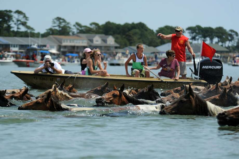 Chincoteague Ponies make the 89th annual swim across Assateague Channel to Chincoteague, Va., on Wednesday, July 30, 2014. A portion of the wild pony herd will be auctioned on Thursday to benefit the Chincoteague Volunteer Fire Company, which owns and maintains the herd. (AP Photo/Eastern Shore News, Jay Diem) NO SALES Photo: Jay Diem, Associated Press