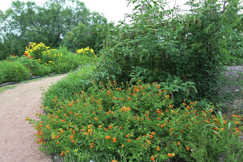 Lantanas and other native plants and grasses are incorporated into the lancdscapign at Mitchell Lake Audubon Center. Photo: Jerry Lara, San Antonio Express-News / © 2014 San Antonio Express-News