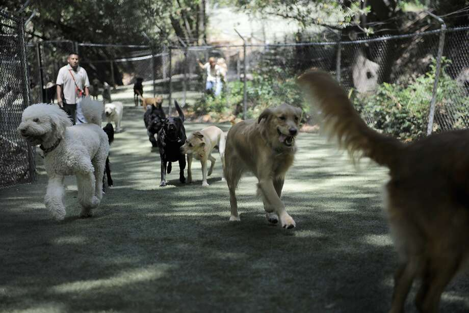 Dogs socialize and exercise in one of the large spaces at Club K9 in Castro Valley. Photo: Craig Hudson, The Chronicle