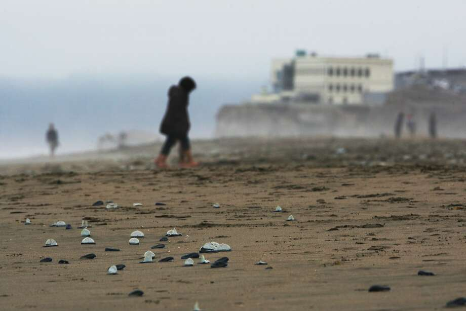 Velella, a distant relative of the jellyfish, draw curious onlookers to Ocean Beach in San Francisco this week. Photo: Craig Hudson, The Chronicle