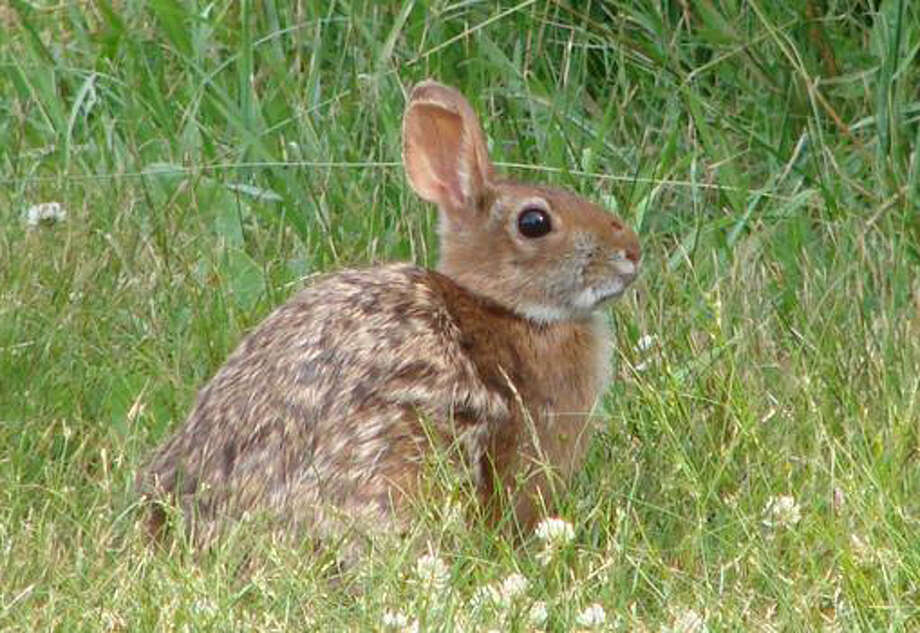 The New England cottontail, a rabbit that ís native to New England and eastern New York, has seen a sharp decline in its numbers since the 1960s because of habitat loss. It ís often confused with a similar, non-native species, the Eastern cottontail, brought here around 1900. Photo: Contributed Photo / Connecticut Post Contributed