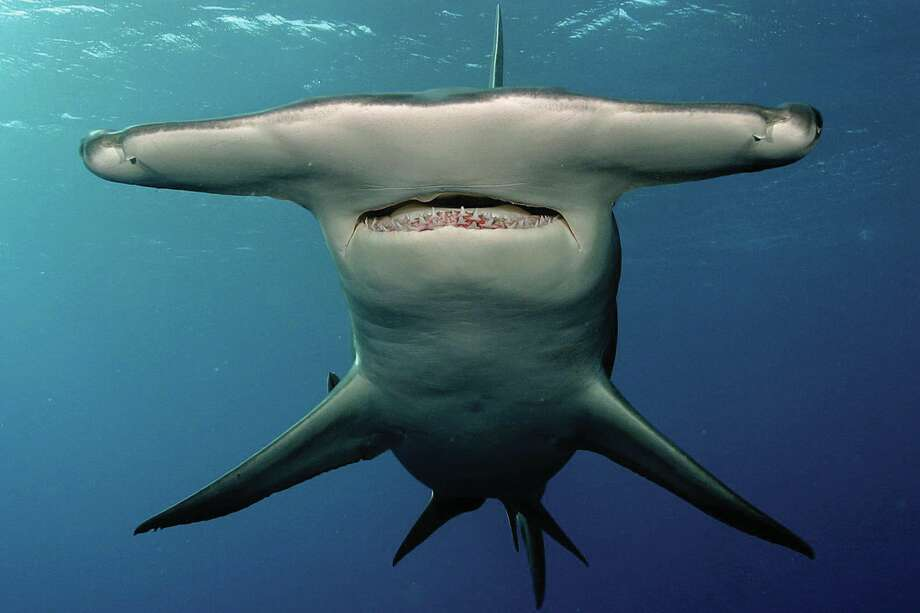 9. Species name: SphyrnaCommon name: Hammerhead sharkNon-fatal attacks: 17Fatal attacks: 0 Photo: Barcroft Media/Getty