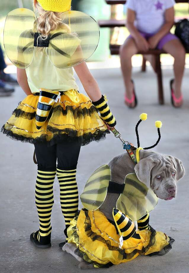 Grumble bee:That face tells you all you need to know about how Homer the mastiff puppy feels about attending   the Frederick County Fair costumed pet show as a bumblebee. Photo: Jeff Taylor, Associated Press