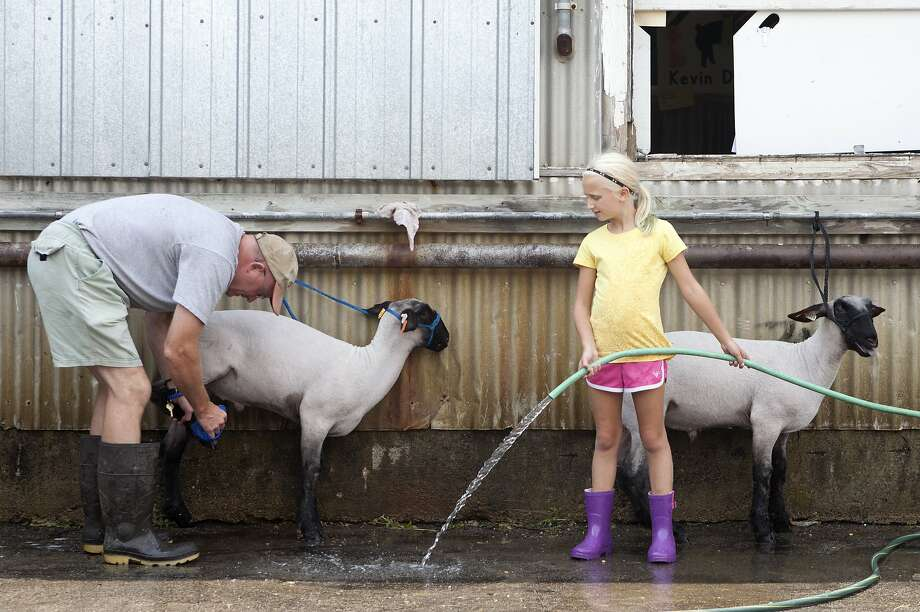 The cleanliness of the lambs: Mike O'Day and his daughter, Megan, 9, wash their lambs, Fuzzy and Morgan Freeman, during the 