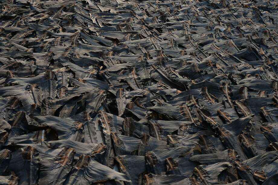 Killed for their fins:Hundreds of shark fins destined to be served in soup at Chinese wedding banquets and corporate parties, dry on a road in Hong Kong. The booming demand for the fins has put pressure on the 
