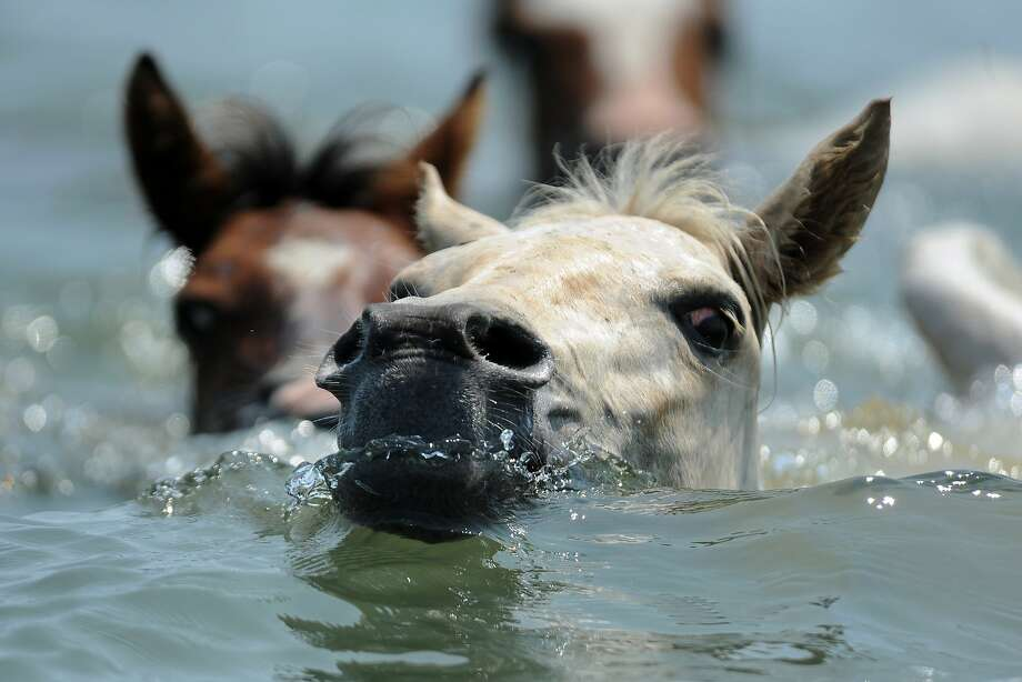 Mustang roundup: Chincoteague ponies make their annual swim across Assateague Channel to Chincoteague, Va. A portion of the herd will be auctioned off to benefit the Chincoteague Volunteer Fire Company, which owns and maintains the animals. Photo: Jay Diem, Associated Press