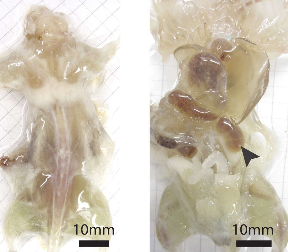This photo combo from the journal Cell shows a mouse with its skin removed during various stages of examination. Photo: Associated Press / Journal Cell