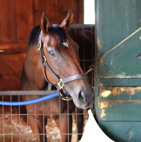 Departing hangs out in his stall Thursday afternoon July 31, 2014 at the Saratoga Race Course in Saratoga Springs, New York.    (Skip Dickstein / Times Union) Photo: SKIP DICKSTEIN