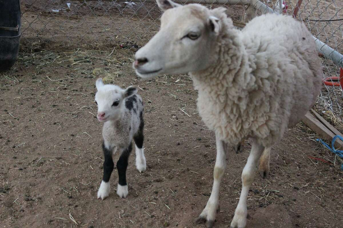 Butterfly, a geep, is half goat and half sheep. Her mother is a ewe and her father is a goat. She was born Sunday in Scottsdale, Arizona.
