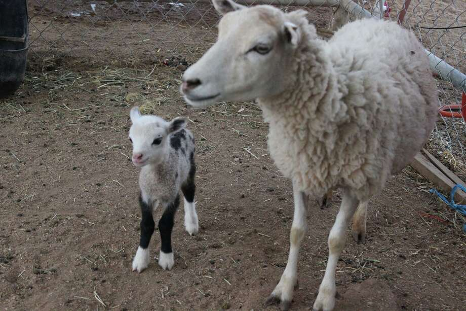 Butterfly, a geep, is half goat and half sheep. Her mother is a ewe and her father is a goat. She was born Sunday in Scottsdale, Arizona. Photo: Petting Zoo Owner,  Priscilla Motola / Courtesy