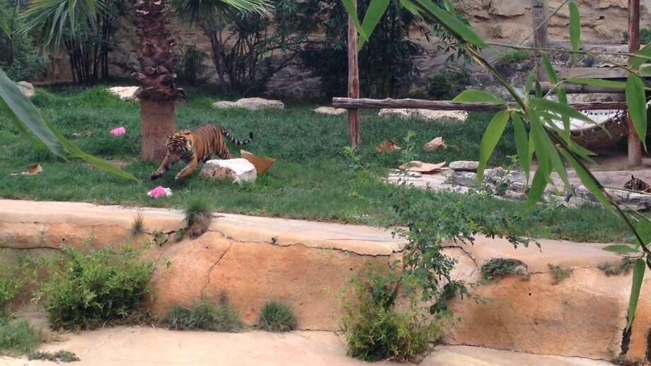 A pair of twin tiger cubs celebrated their first birthday at the San Antonio Zoo with cake, presents and over 100 zoo guests on August 1, 2014. The female twins are named The Royal Ja'Malle and Diana. Photo: Rebecca Salinas/San Antonio Express-News