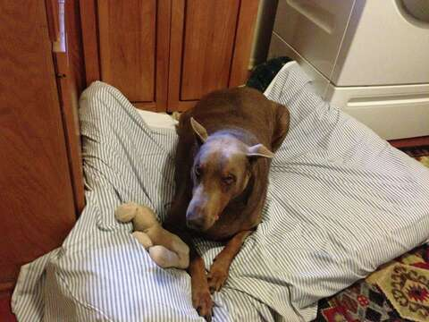 Obese Texas doberman now in doggy rehab - San Antonio