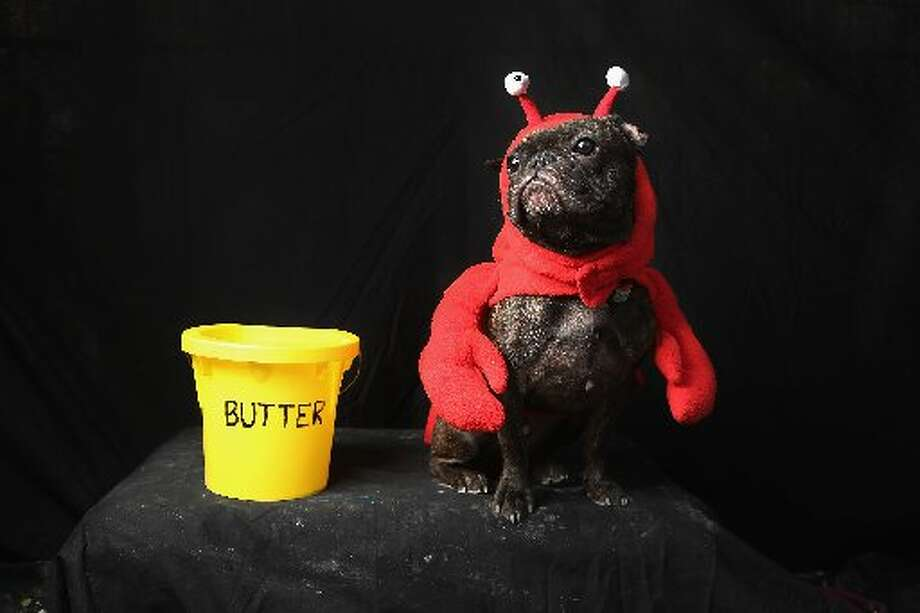 The world's most humiliated French Bulldog Enzo poses as a lobster at the Tompkins Square Halloween Dog Parade on October 20, 2012 in New York City. (Getty image)