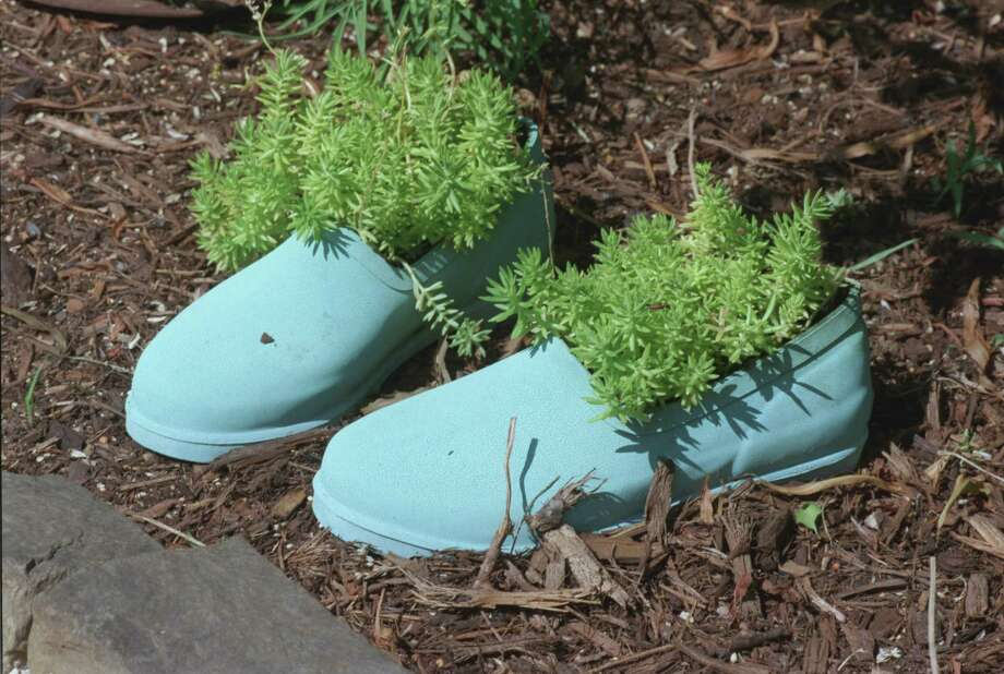 Mexican sedumis content in blue shoes or planted most any place in the garden with well-draining soil. Carlos Antonio Rios photo Photo: Carlos Antonio Rios, Staff / Houston Chronicle
