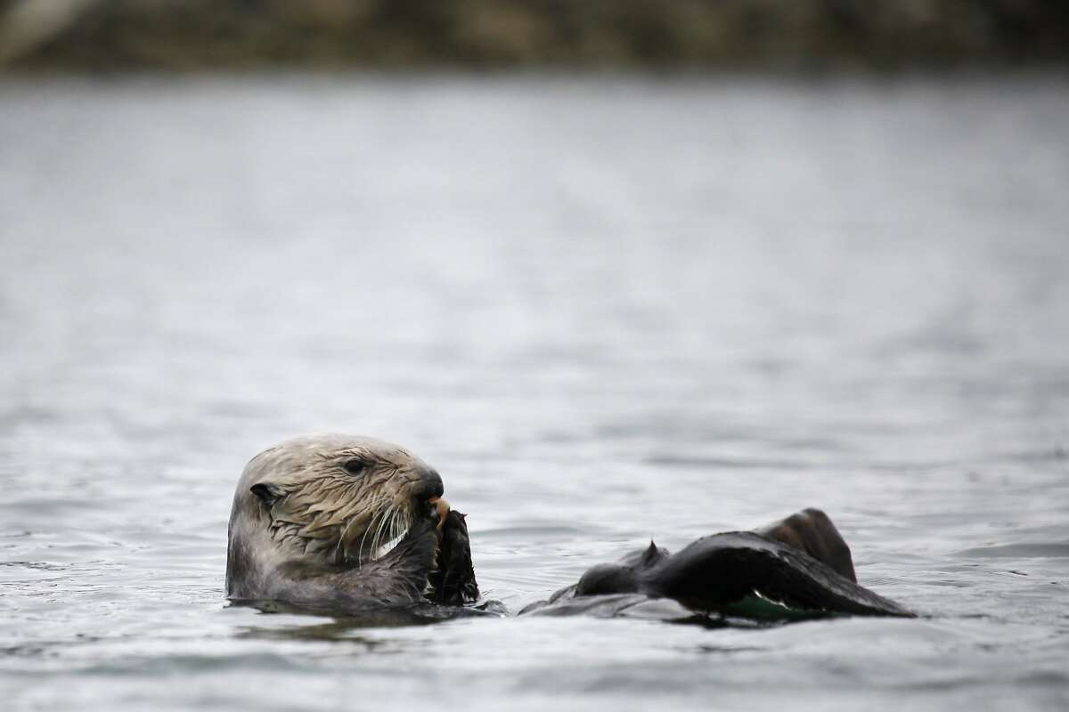 A southern sea otter floats on its back while eating a clam on the Elkhorn Slough on July 30, 2014 in Moss Landing, Calif.