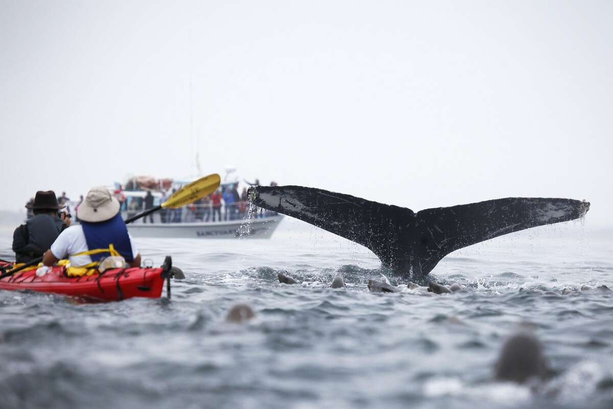 A humpback whale flukes, or lifts its tail out of the water as it dives, next to a kayak carrying Giancarlo Thomae, a marine biologist with Sanctuary Cruises, and Tom Stienstra, a Chronicle reporter, in 2014 on Monterey Bay offshore of Moss Landing. In the background, a group of people watch from a Sanctuary Cruises boat. The extreme compression of distances created by telephoto lenses makes the kayak appear closer to the whale than it actually is.