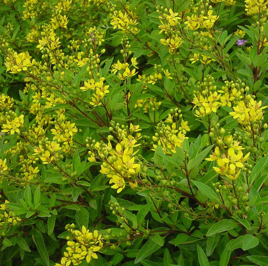 Garden author Mary Irish aptly describes thryallis as a shrub that explodes with flowers throughout warm months. Photo: Courtesy Photos