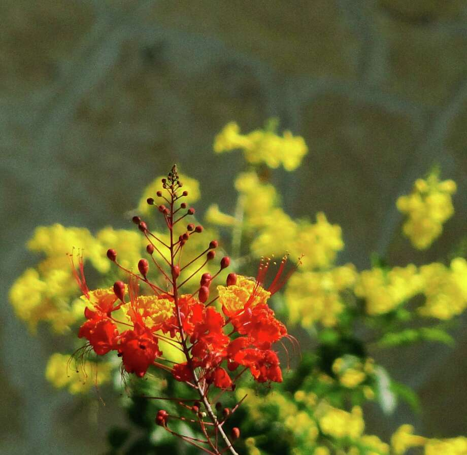 With their vibrant color and heat-loving nature, Pride of Barbados (foreground) and esperanza are the life of the summer party in the garden.